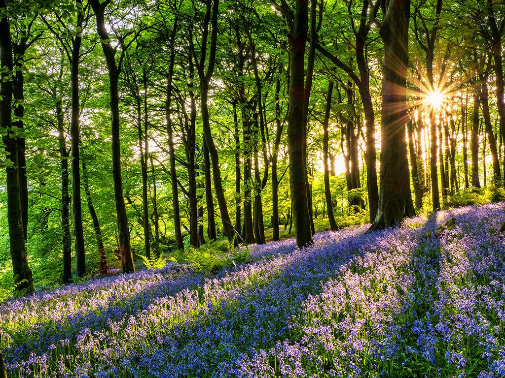 Bluebells in Corber Woods