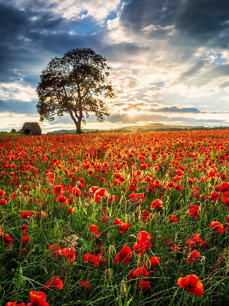 Poppy field sunset (v)
