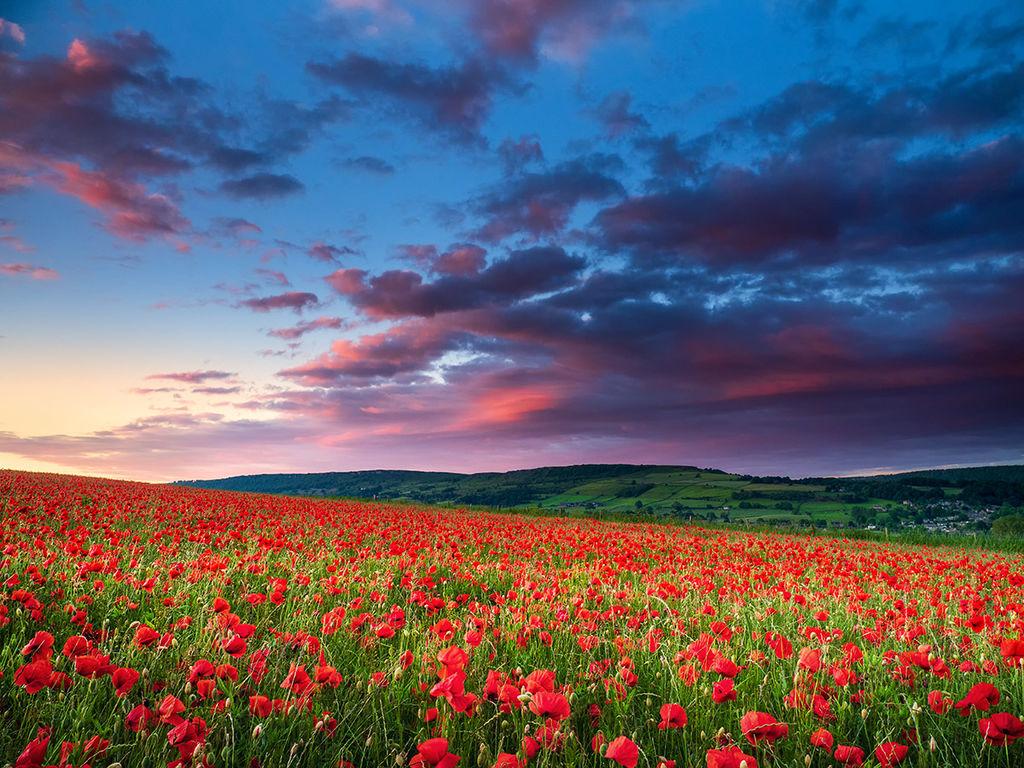 Poppy field afterglow