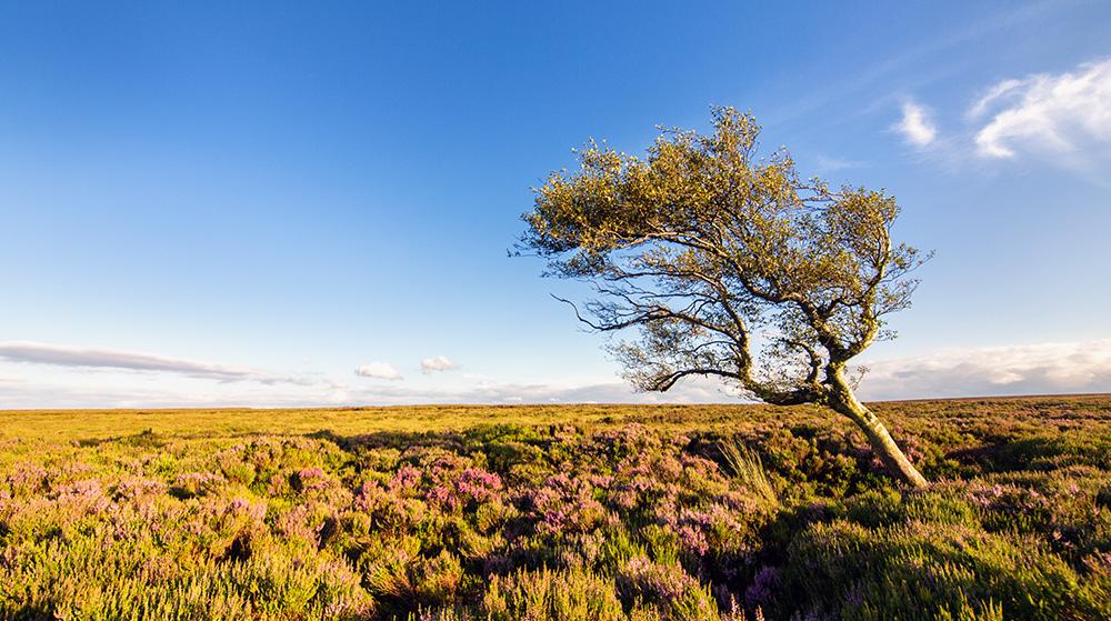 Lone tree on Burbage Moor