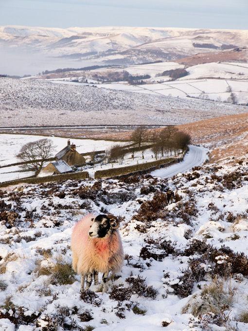 Sheep on Stanage