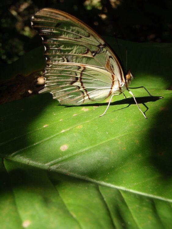 Malachite Butterfly, Iguazu Falls