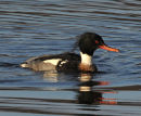 Male-Red-Breasted- Merganser
