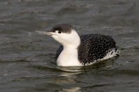 Red-Throated-Diver (winter)