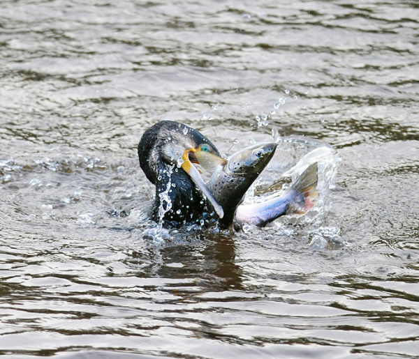 Cormorant-With-Sea-Trout