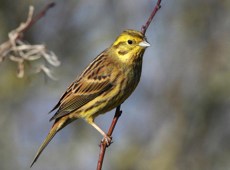 Yellow-Hammer-female