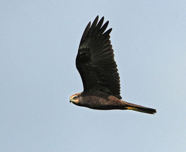 Juvenile-Marsh-Harrier
