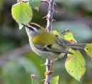 Male-Firecrest