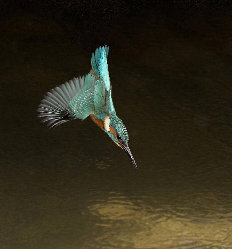 Male-Kingfisher