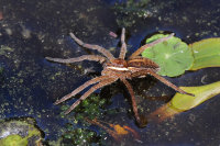 Raft-Spider