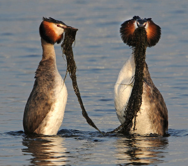 Great-Crested-Grebes-weed dancing