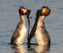 Great-Crested-Grebes- weed dancing