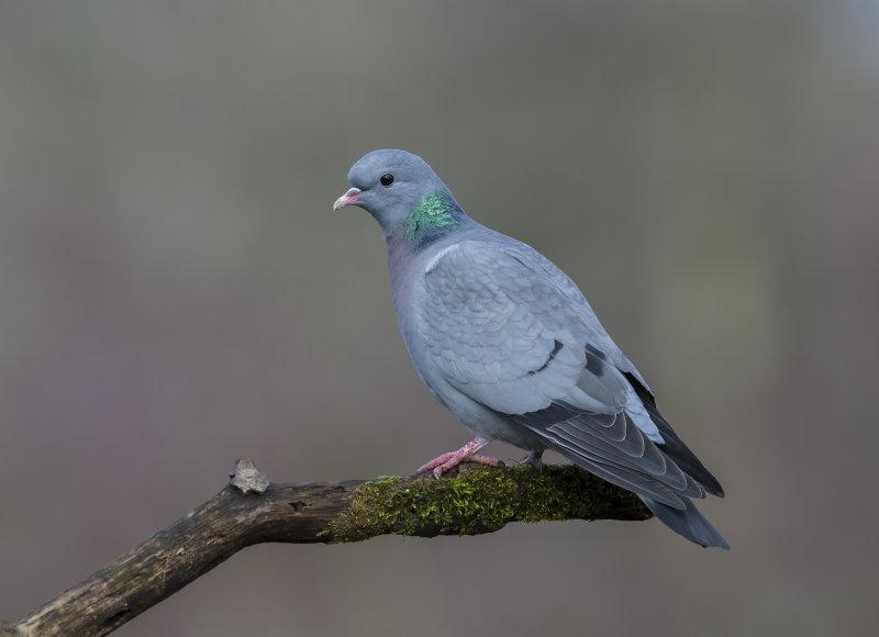 Stock-Dove