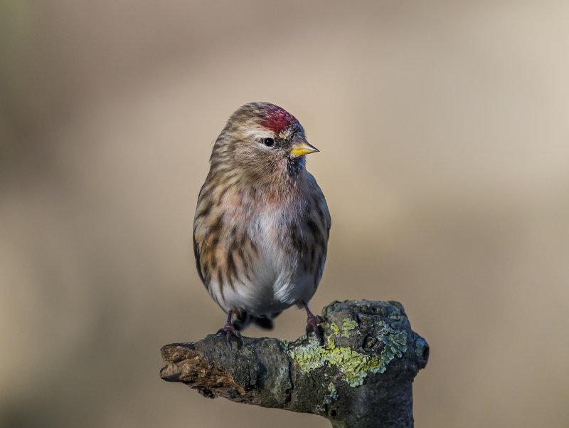 Lesser-Redpoll