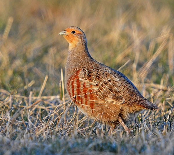 Male-Grey-Partridge