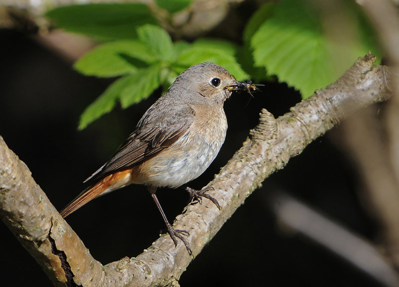 Redstart-female