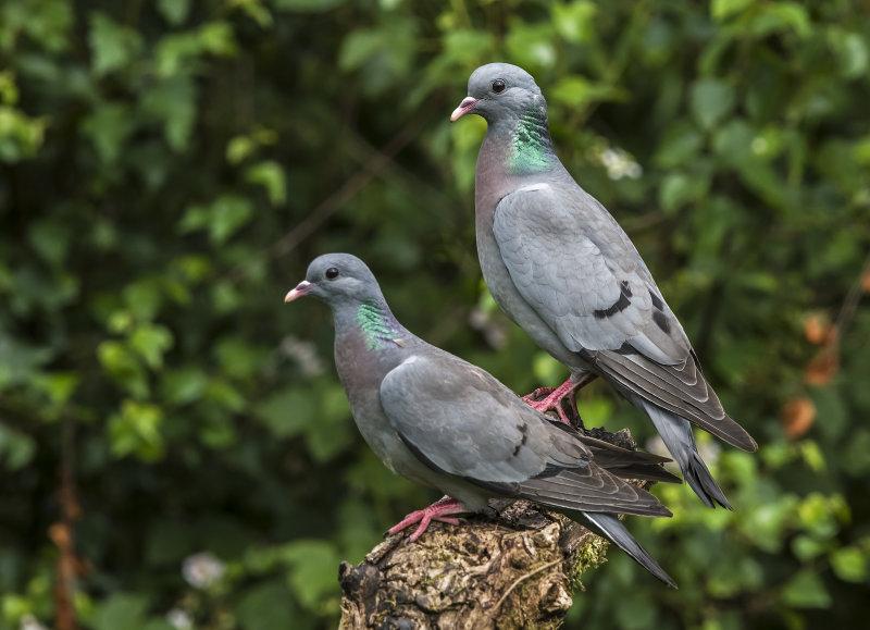 Stock-Doves
