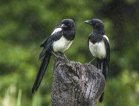 Magpies (juvs)
