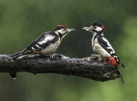 Great-spotted-Woodpeckers