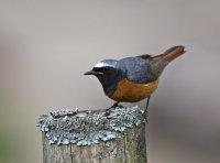 Redstart (m)