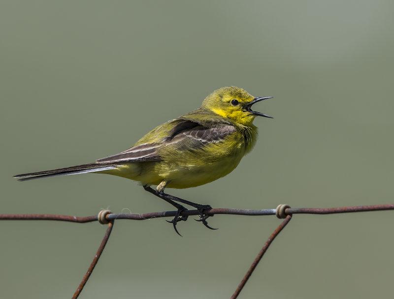 Yellow-Wagtail (m)