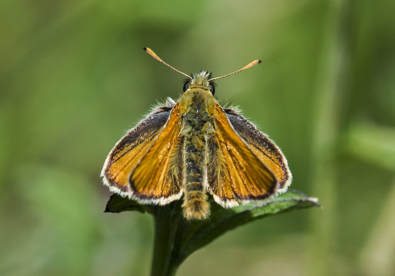 Essex-Skipper