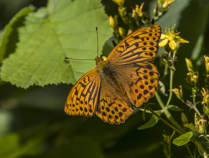 Silver-washed-Fritillary (m)