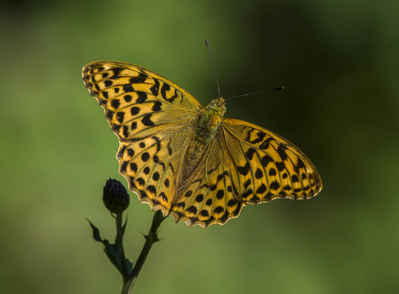 Silver-washed-Fritillary (f)