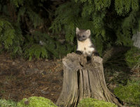 Pine-Marten