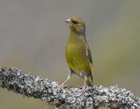 Greenfinch-male