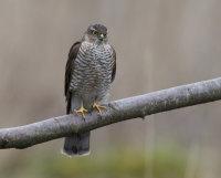 Sparrowhawk-female