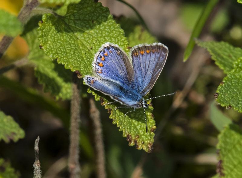 Common-Blue (f)