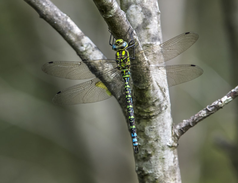 Southern-Hawker (m)