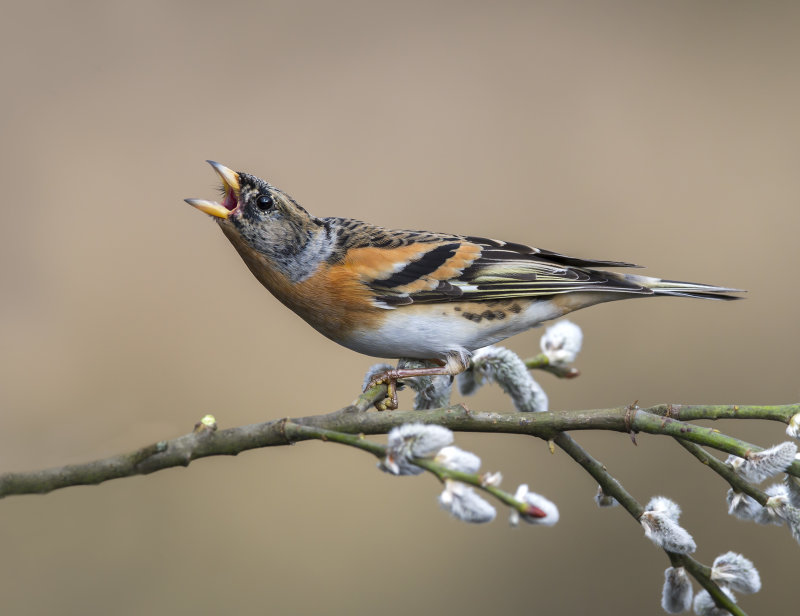 Brambling-male
