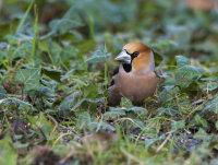 Hawfinch-male