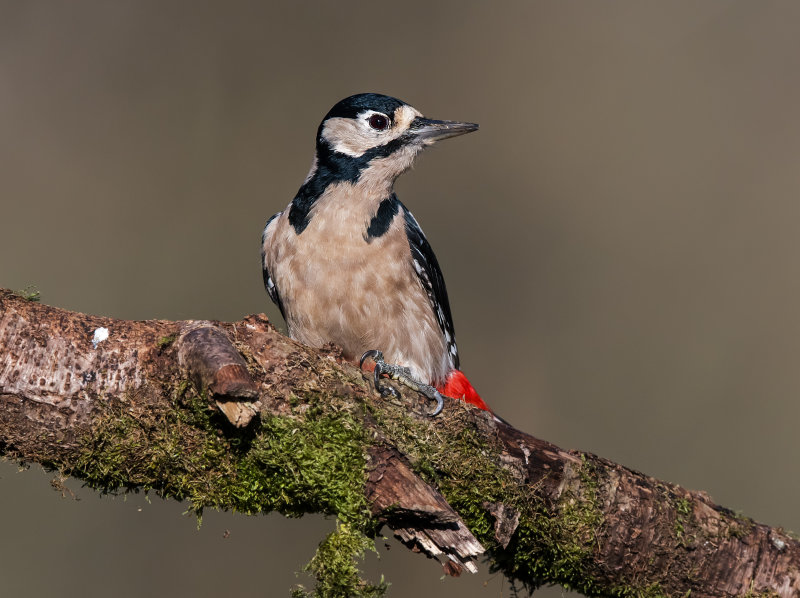 Great-spotted-Woodpecker (f)