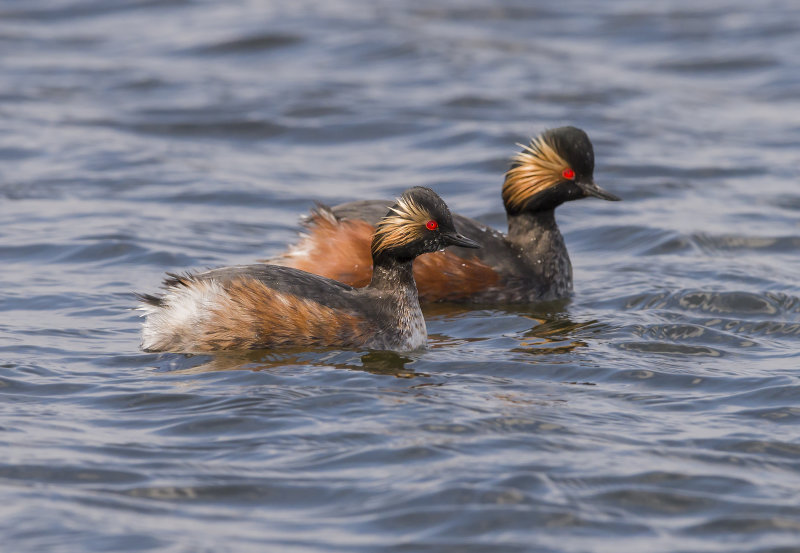 Black-Necked-Grebes