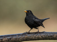 Blackbird (m)