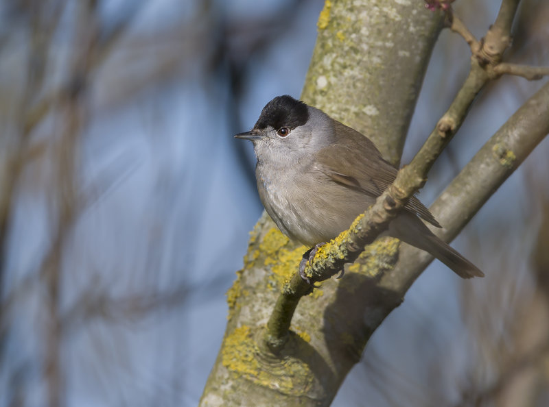 Blackcap-male