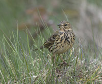 Meadow-Pipit