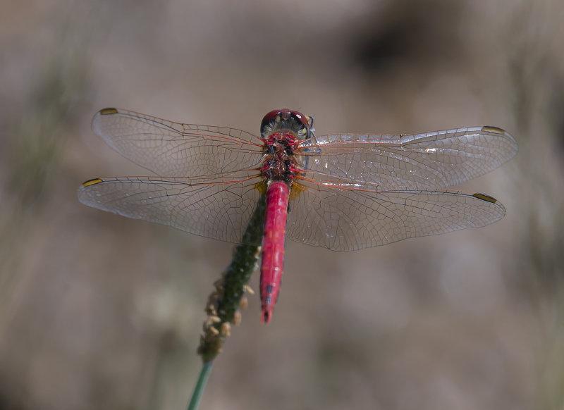 Red-veined-Darter-male