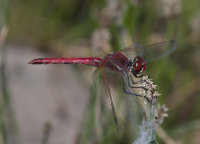 Red-veined-Darter-male