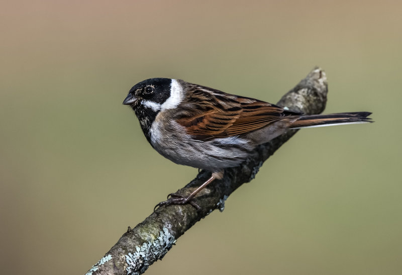 Reed-Bunting (m)