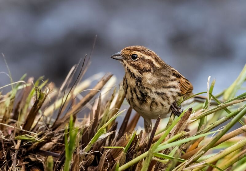 Keeled-Skimmer-female