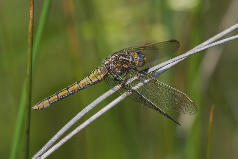 Keeled-Skimmer-female