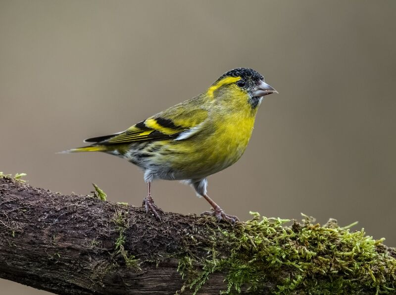 Black-Darter-male