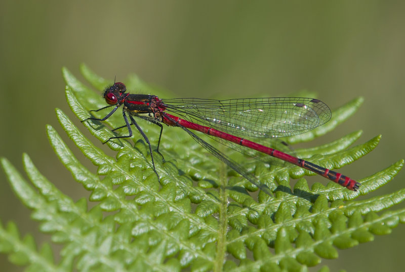 Large-Red-Damselfly