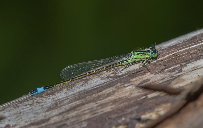 Blue-tailed-Damselfly