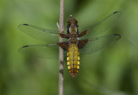 Broad-bodied-Chaser-female