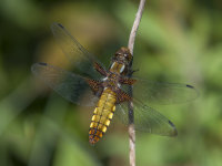 Broad-bodied-Chaser (f)